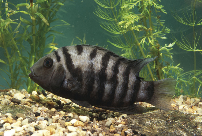 aquarium fish cichlids
