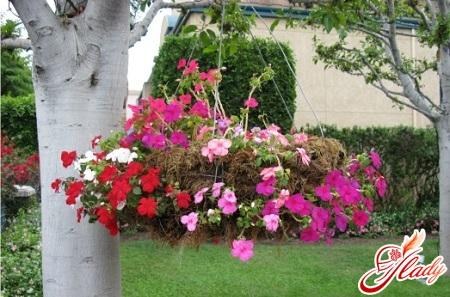 ampel plants