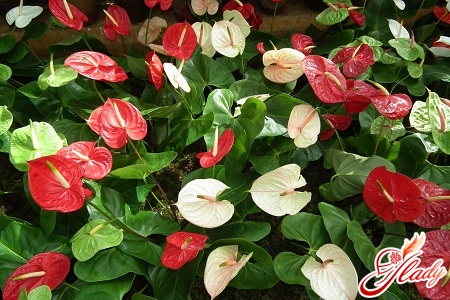 why do the anthurium grow black with leaves