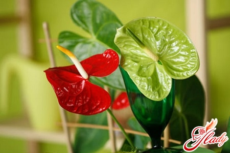 anthurium stains on leaves