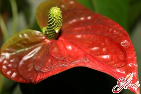 anthurium reproduction