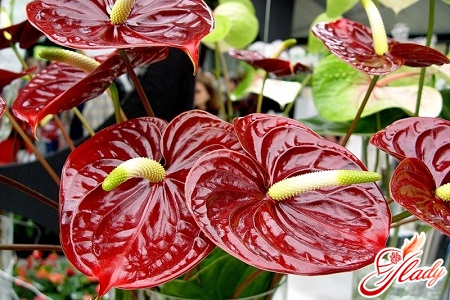 why leaves dry in anthurium