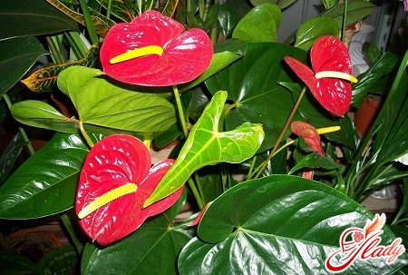 anthurium leaves dry