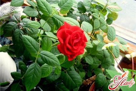 rose flower diseases