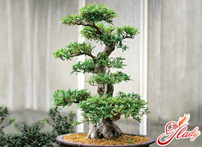 how to grow bonsai from pine