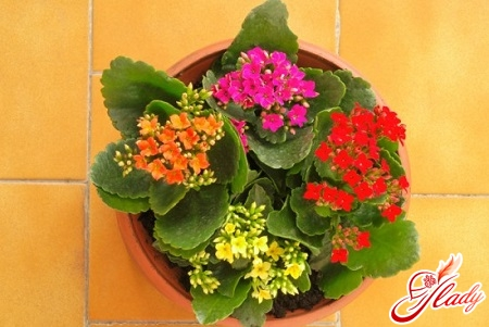 calanchoe blooming
