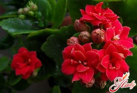 Kalanchoe blooming