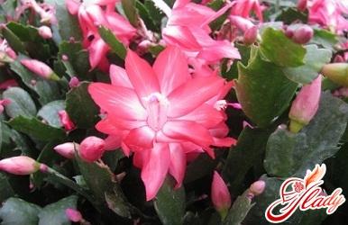 Decembrist flower buy