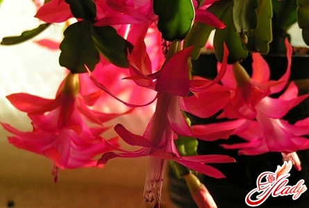 Decembrist flower