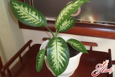 dienenbachia leaves dry
