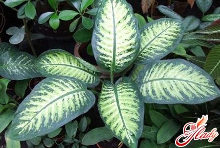 diffenbachia turn yellow leaves