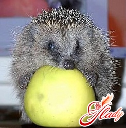 home hedgehog