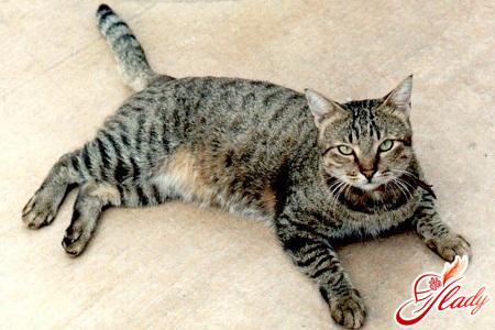 European Shorthair cat character