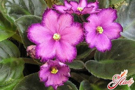 care for violets at home