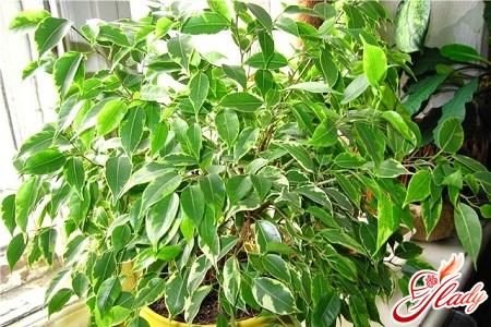 Ficus Falls Leaves