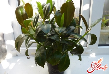 why does the ficus have leaves