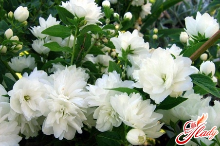 жасмин квітка