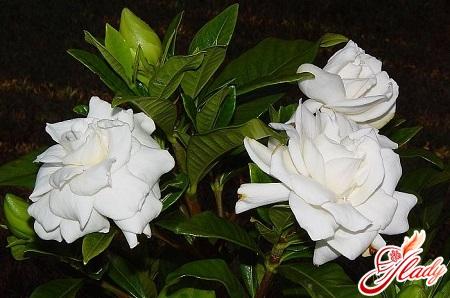 care for gardenia