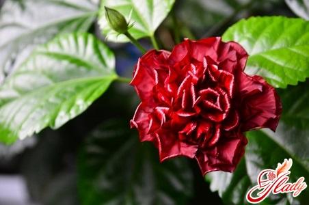 Hibiscus Chinese rose