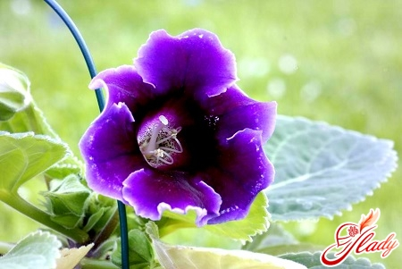 gloxinia from seeds