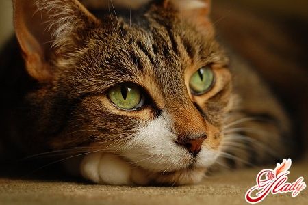 how to treat lichen in cats