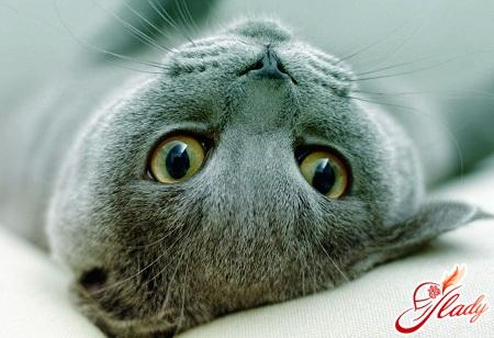 як визначити вагітність у кішки