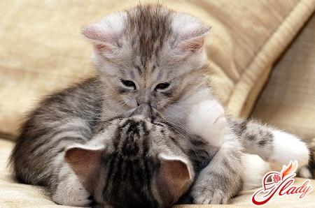 як дізнатися вагітність кішки