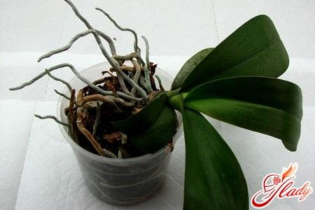 пересадка орхідеї