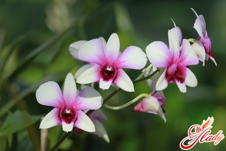 how to transplant phalaenopsis orchid