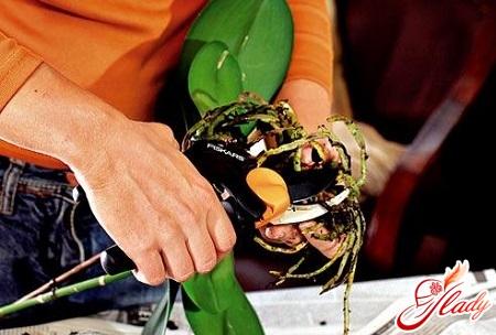 phalaenopsis orchid transplantation