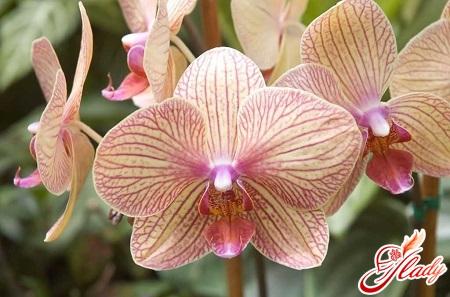 як часто поливати орхідею