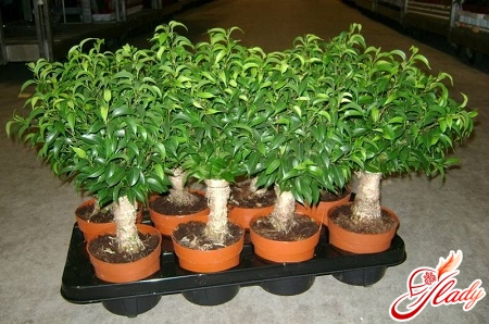 how does the ficus multiply