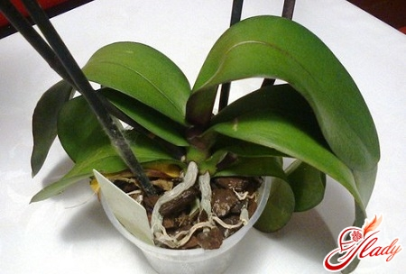 how to save an orchid correctly