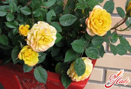 how to care for a rose in a pot