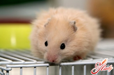 care for hamsters at home