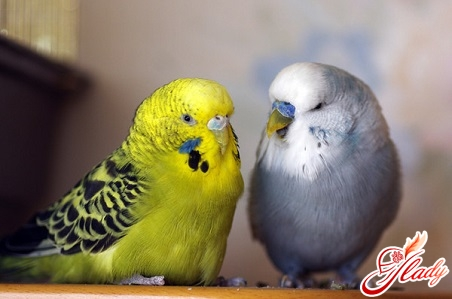wavy parrots how to choose