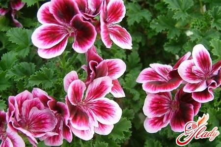 home geranium diseases