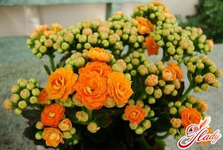 Kalanchoe blossfeld care