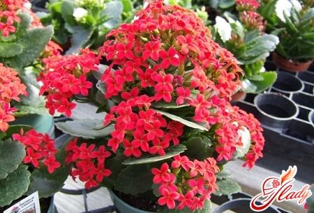 Kalanchoe blossfelda healing properties