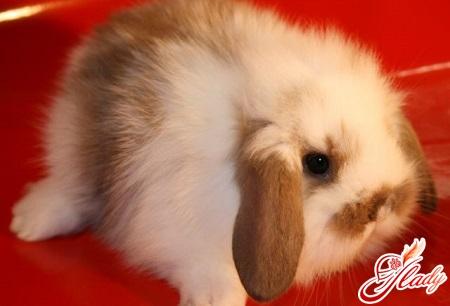 rabbits dwarfish