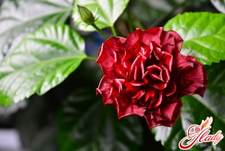 Chinese Room Rose
