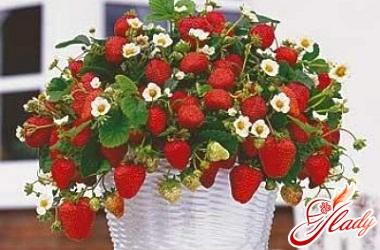 посадка полуниці