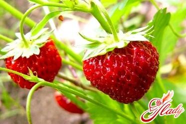посадка полуниці насінням