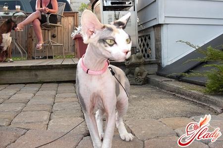 кішки сфінкси догляд