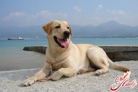 breed labrador