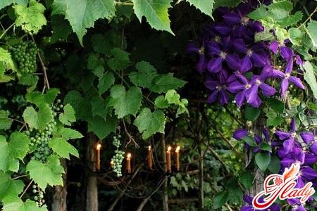 perennial vines for the garden