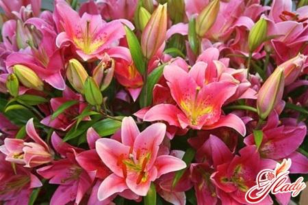 рожеві лілії