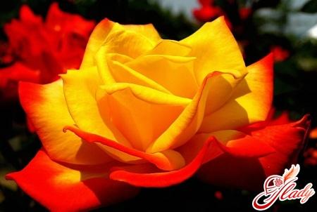 best sorts of roses cordes