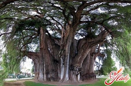 найстаріше дерево тулі
