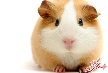 nursing guinea pigs